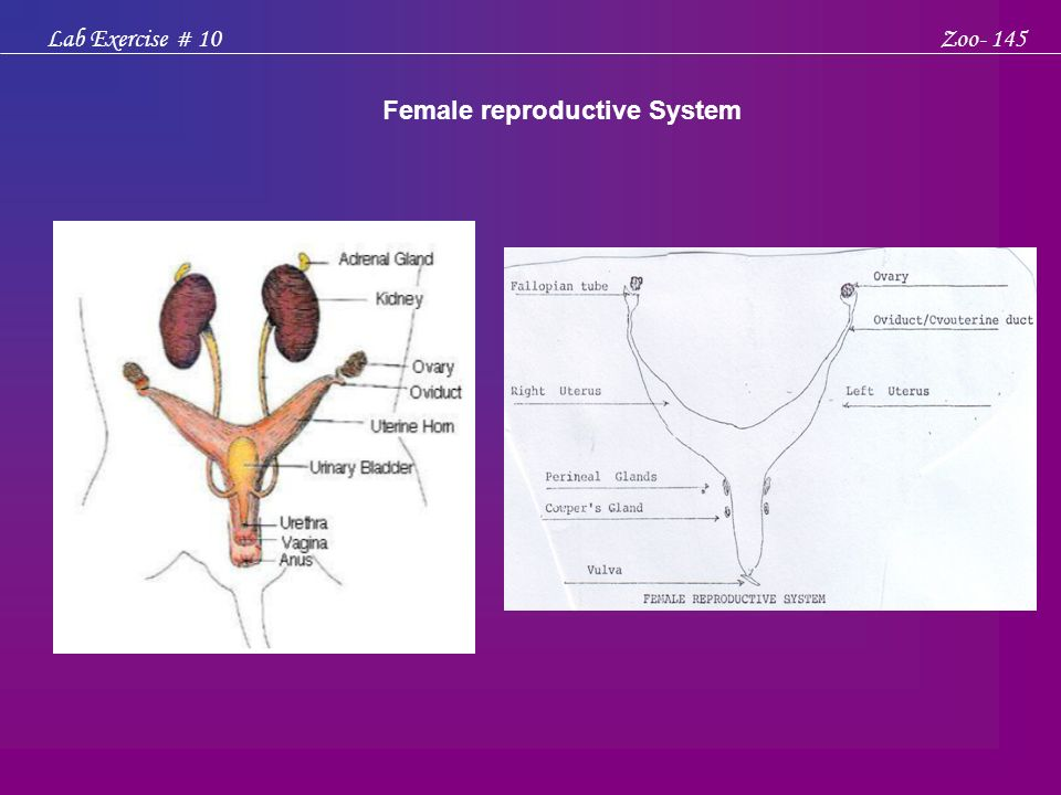 Male and Female Reproductive System of the Rat, Rattus norvegicus ...