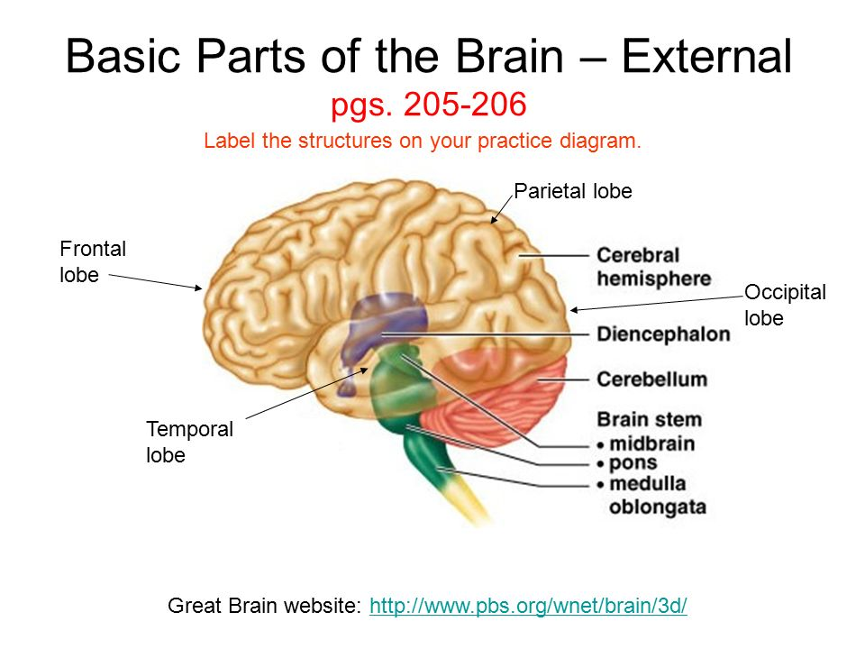 Basic Parts of the Brain – External pgs