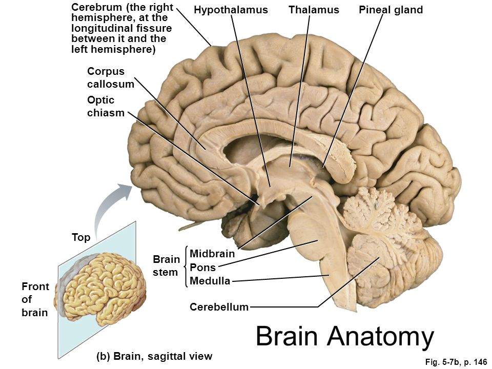 Amazing Brain Sagittal Anatomy Motif - Anatomy And Physiology ...