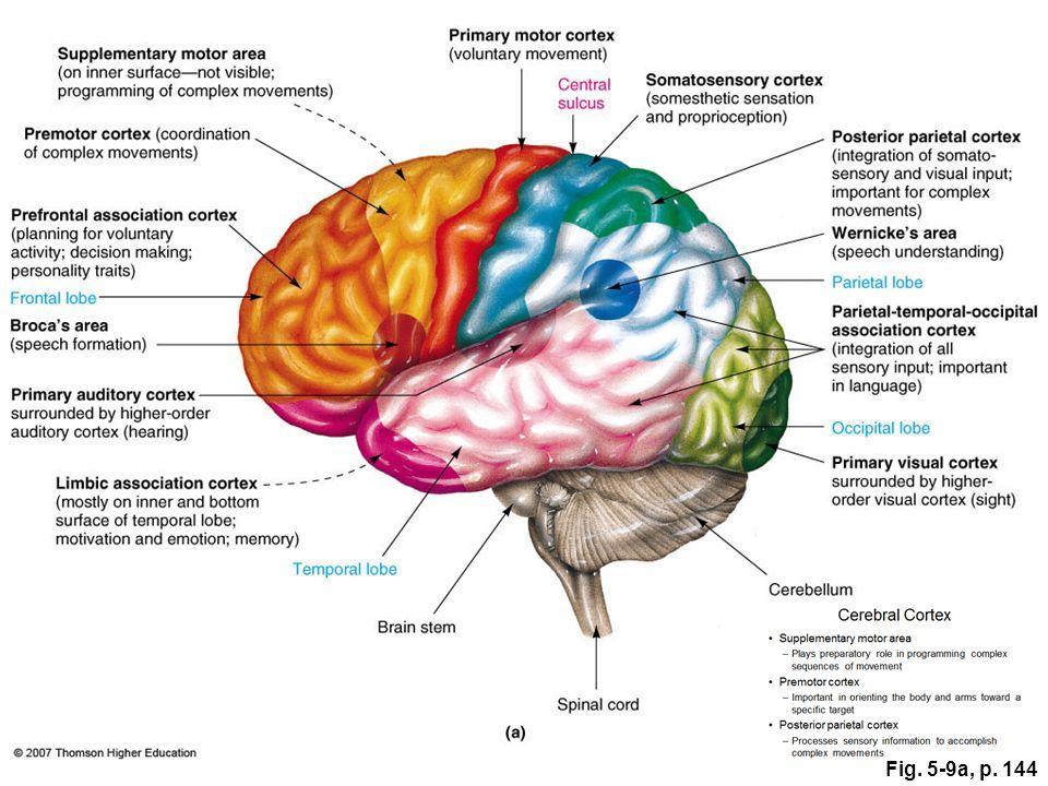 Chapter The central nervous system - ppt video online download