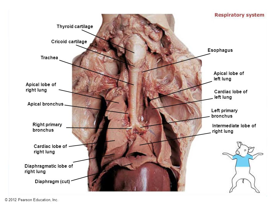 Thymus (thoracic portion) Thymus (cervical portion) - ppt video ...
