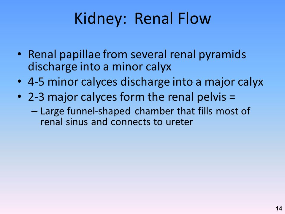 Kidney: Renal Flow Renal papillae from several renal pyramids discharge into a minor calyx. 4-5 minor calyces discharge into a major calyx.