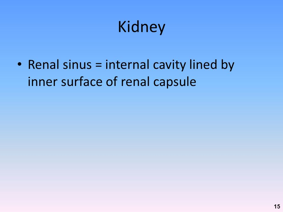 Kidney Renal sinus = internal cavity lined by inner surface of renal capsule