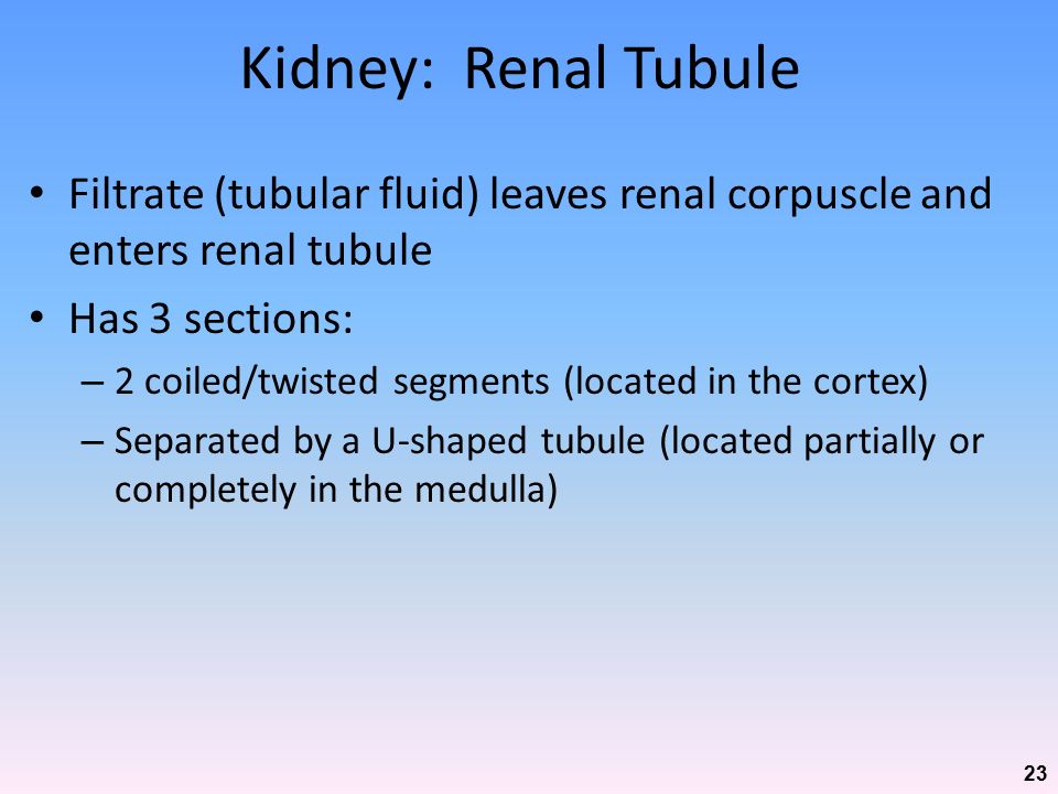Kidney: Renal Tubule Filtrate (tubular fluid) leaves renal corpuscle and enters renal tubule. Has 3 sections: