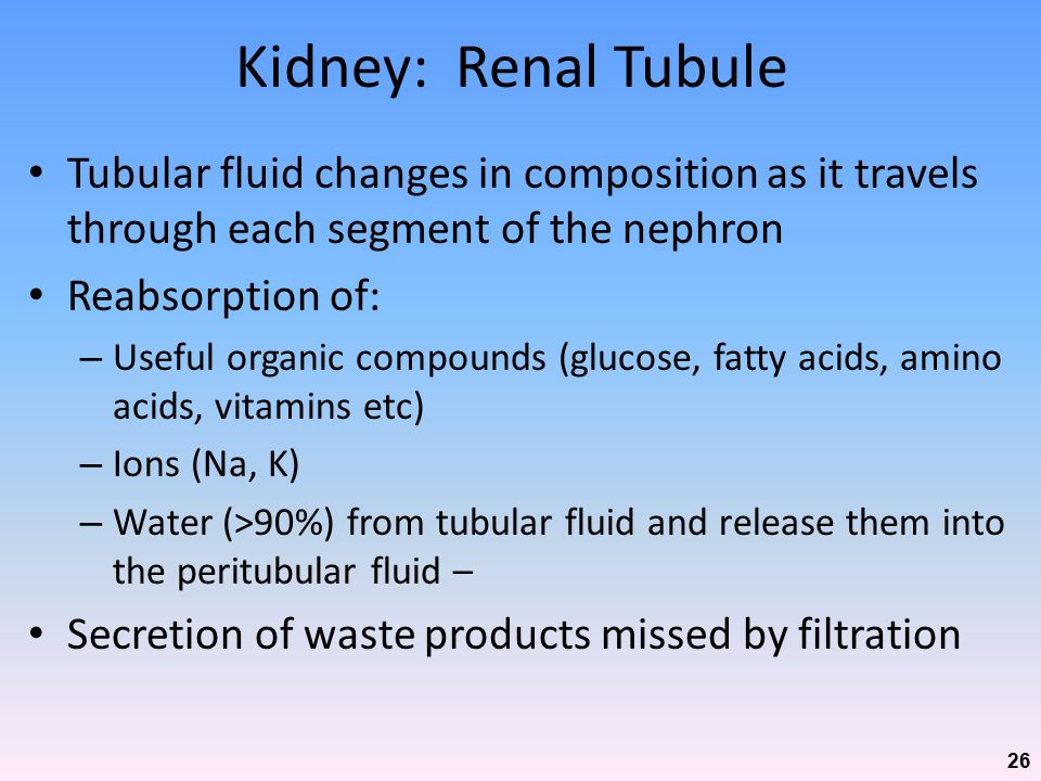 Kidney: Renal Tubule Tubular fluid changes in composition as it travels through each segment of the nephron.