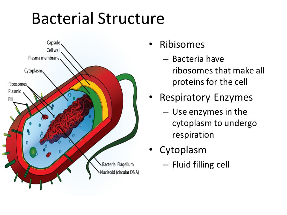 bacterial cells their structure ppt video online download