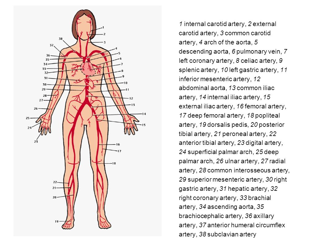 Human Circulatory System Major Vessels - ppt video online download