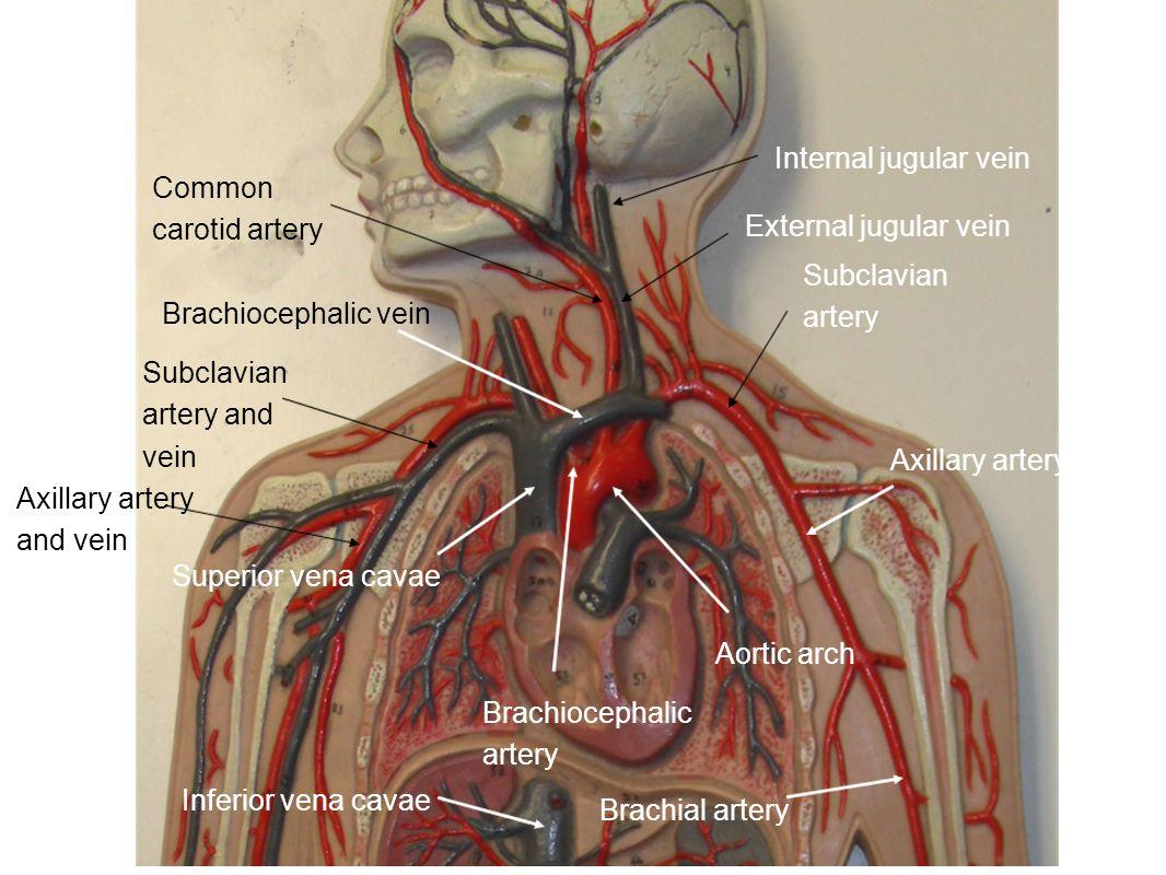 Human Circulatory System Major Vessels - ppt video online download