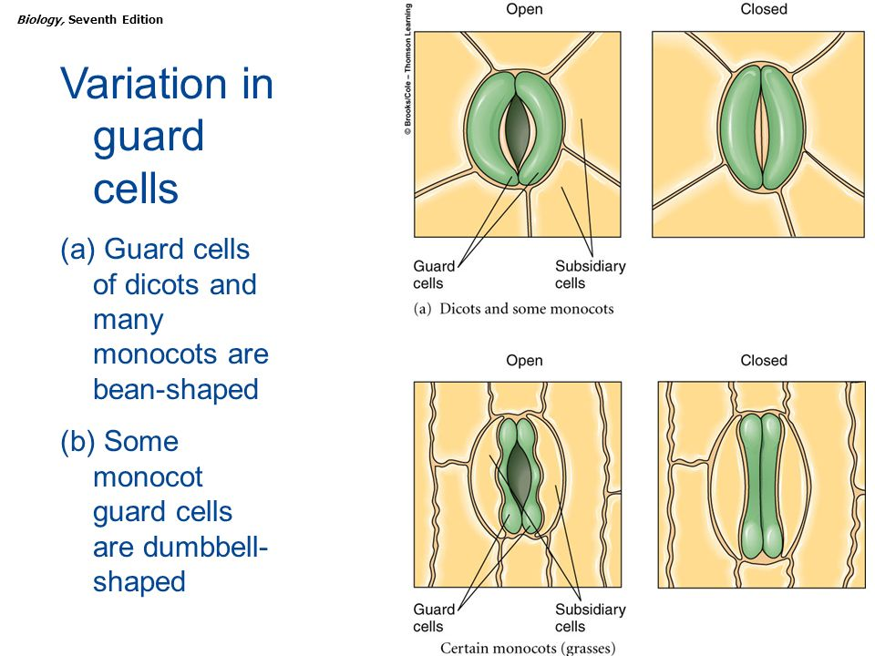 Leaf Structure and Function - ppt download