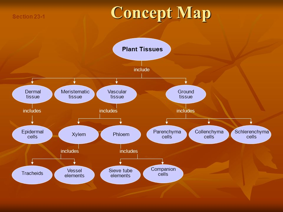 Human Tissue Concept Map.Leaves Describe The Organs And Tissues Of Vascular Plants Ppt