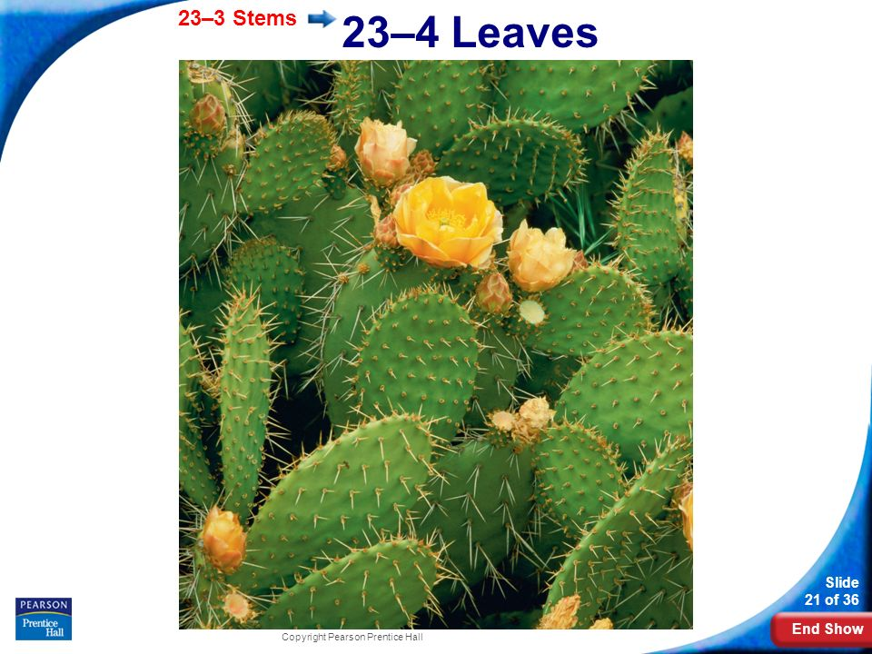23–4 Leaves Photo Credit: Getty Images Copyright Pearson Prentice Hall