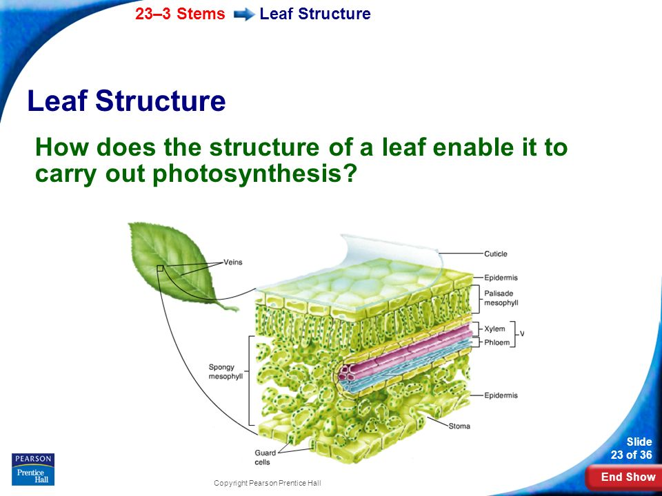 Leaf Structure Leaf Structure. How does the structure of a leaf enable it to carry out photosynthesis