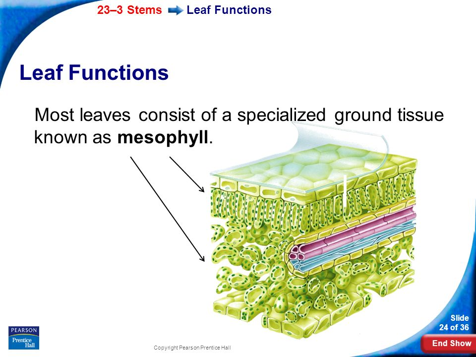 Leaf Functions Leaf Functions. Most leaves consist of a specialized ground tissue known as mesophyll.