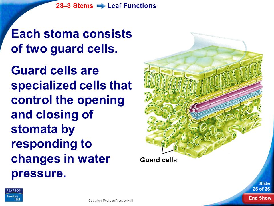 Each stoma consists of two guard cells.