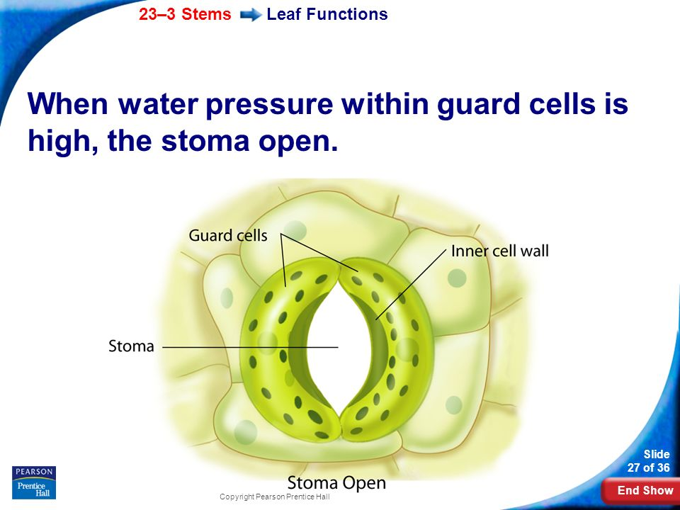 When water pressure within guard cells is high, the stoma open.