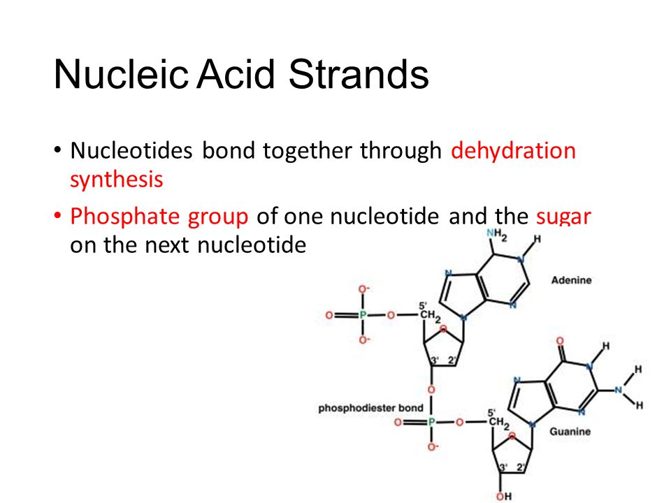 Nucleic Acid Strands Nucleotides bond together through dehydration synthesis.