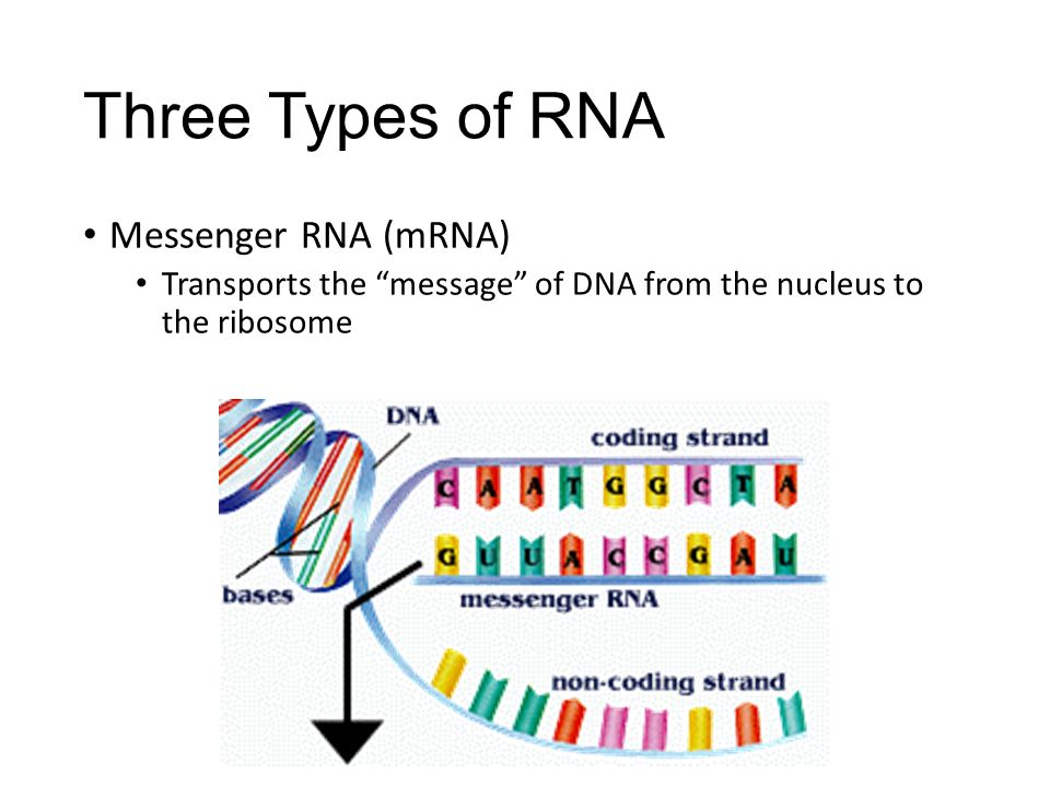 Three Types of RNA Messenger RNA (mRNA)
