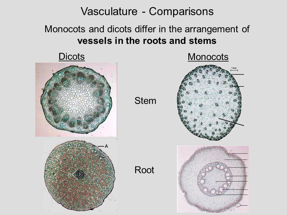 anatomy of dicot and monocot stem