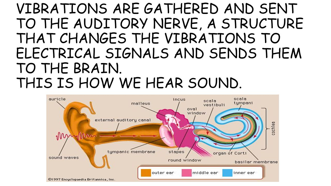 VIBRATIONS ARE GATHERED AND SENT TO THE AUDITORY NERVE, A STRUCTURE THAT CHANGES THE VIBRATIONS TO ELECTRICAL SIGNALS AND SENDS THEM TO THE BRAIN.