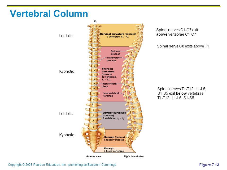 Axial Skeleton Vertebral Column Ppt Video Online Download