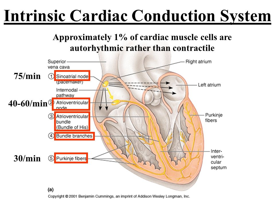 Intrinsic cardiac conduction system ppt download intrinsic cardiac conduction system ccuart Choice Image