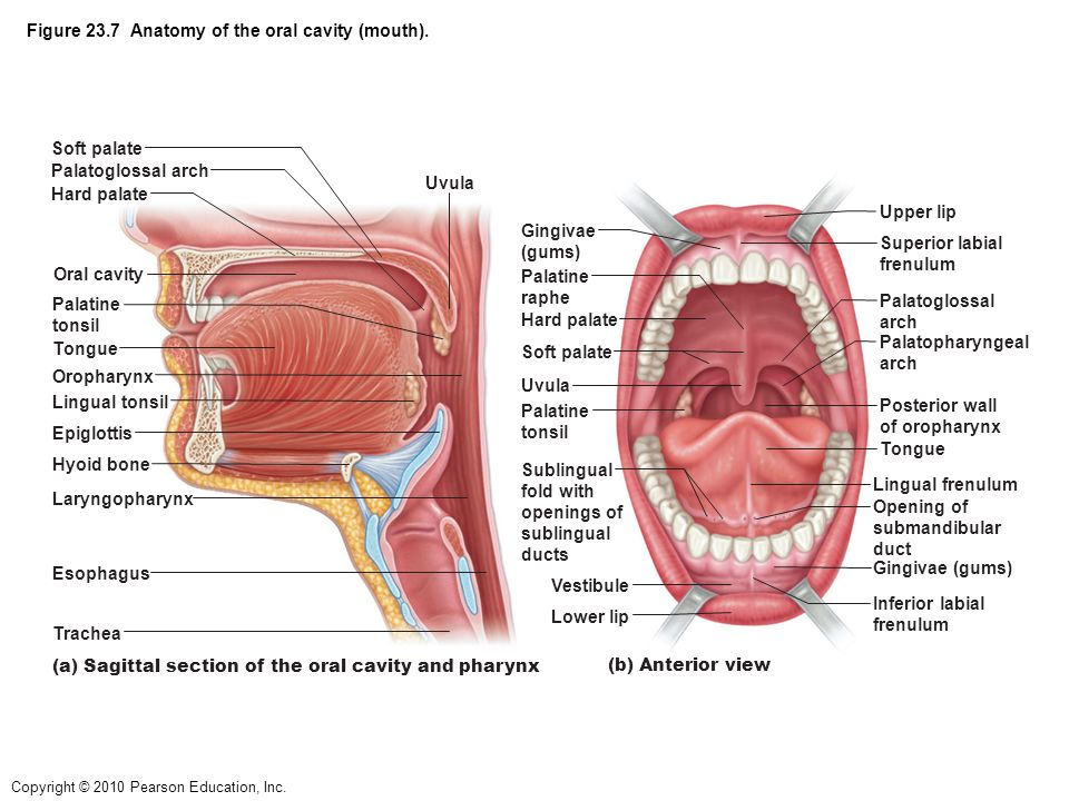 Figure 23.1 Alimentary canal and related accessory digestive organs ...