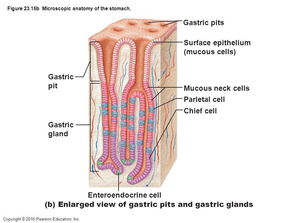 Perfect Microscopic Anatomy Of Stomach Elaboration - Anatomy And ...