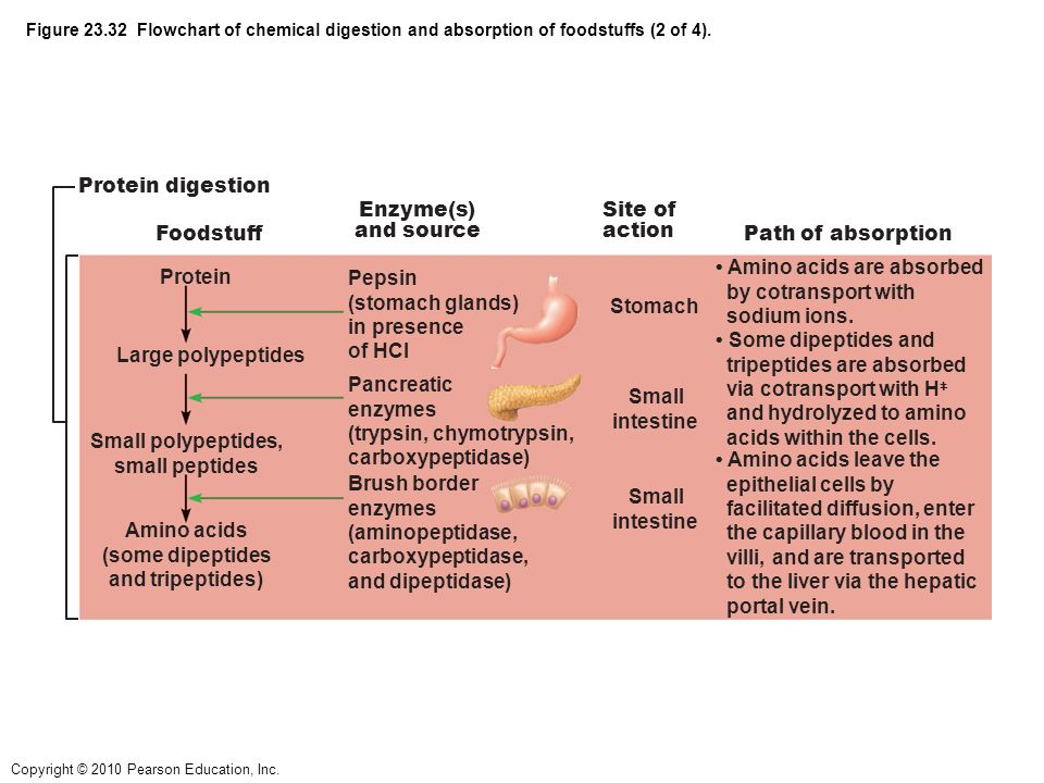 Figure 231 Alimentary Canal And Related Accessory Digestive Organs