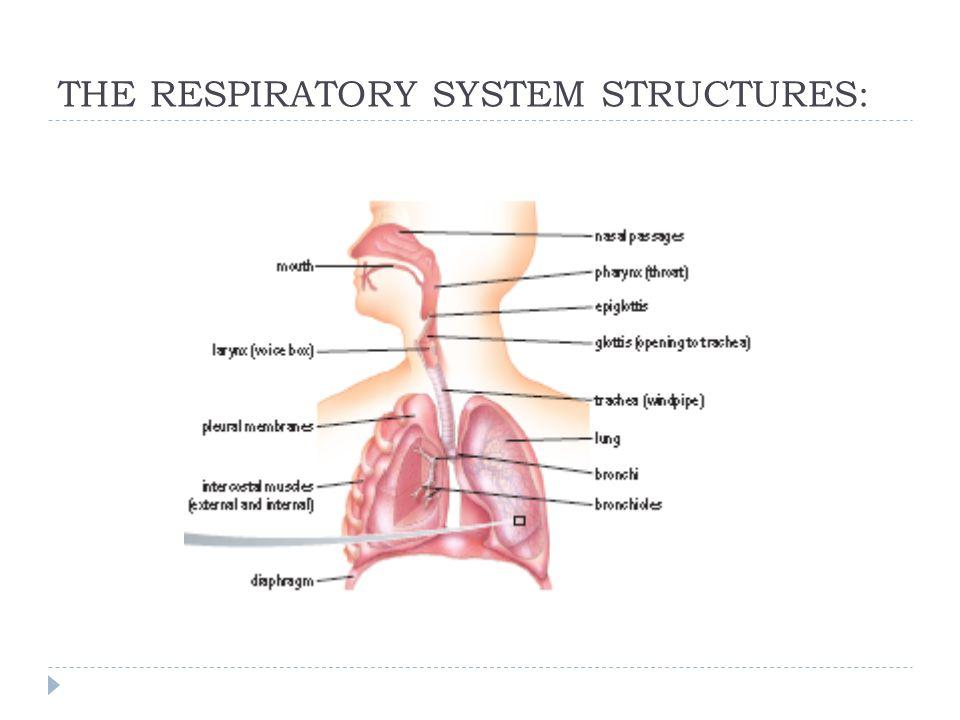 Respiratory System Sbi3u Ppt Video Online Download