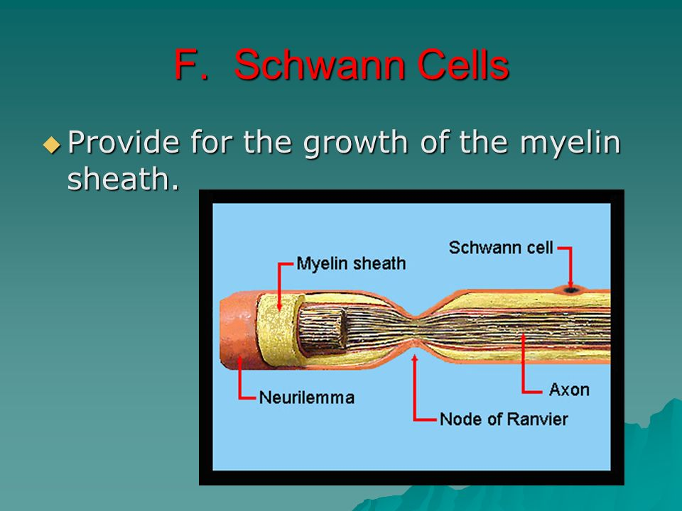 F. Schwann Cells Provide for the growth of the myelin sheath.