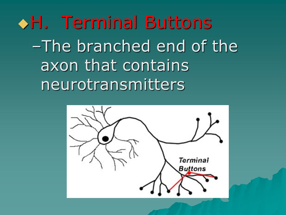 H. Terminal Buttons The branched end of the axon that contains neurotransmitters