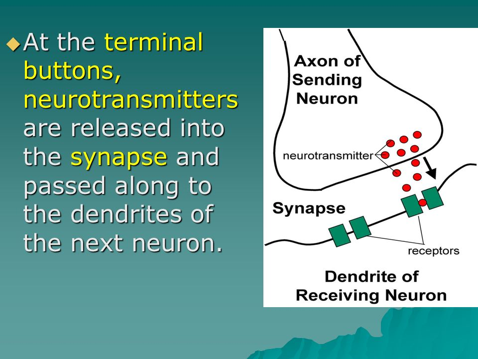 At the terminal buttons, neurotransmitters are released into the synapse and passed along to the dendrites of the next neuron.