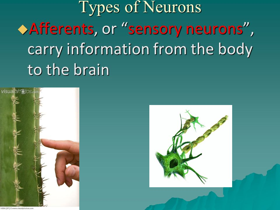 Types of Neurons Afferents, or sensory neurons , carry information from the body to the brain