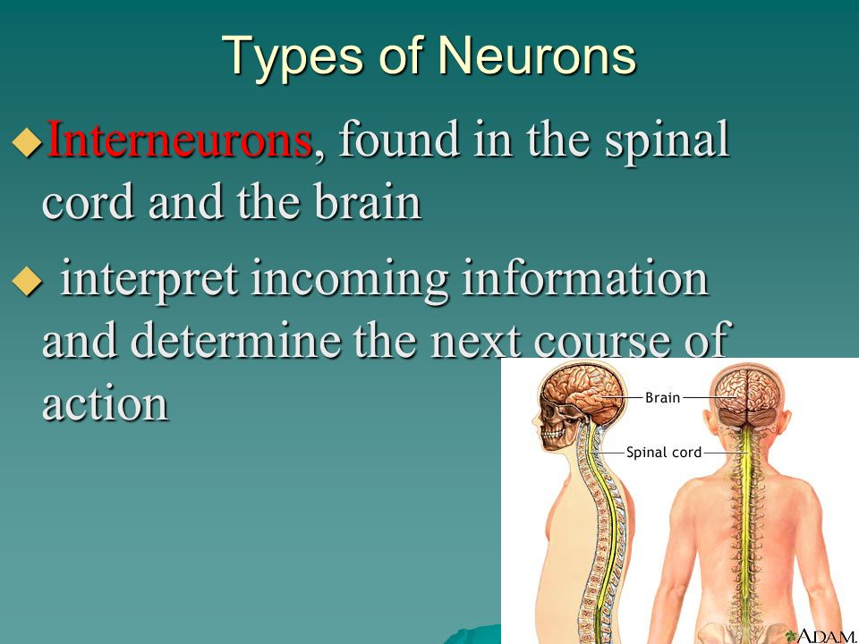 Types of Neurons Interneurons, found in the spinal cord and the brain.