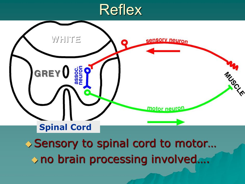Reflex Sensory to spinal cord to motor… no brain processing involved….