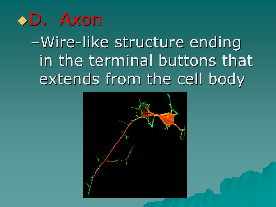 D. Axon Wire-like structure ending in the terminal buttons that extends from the cell body