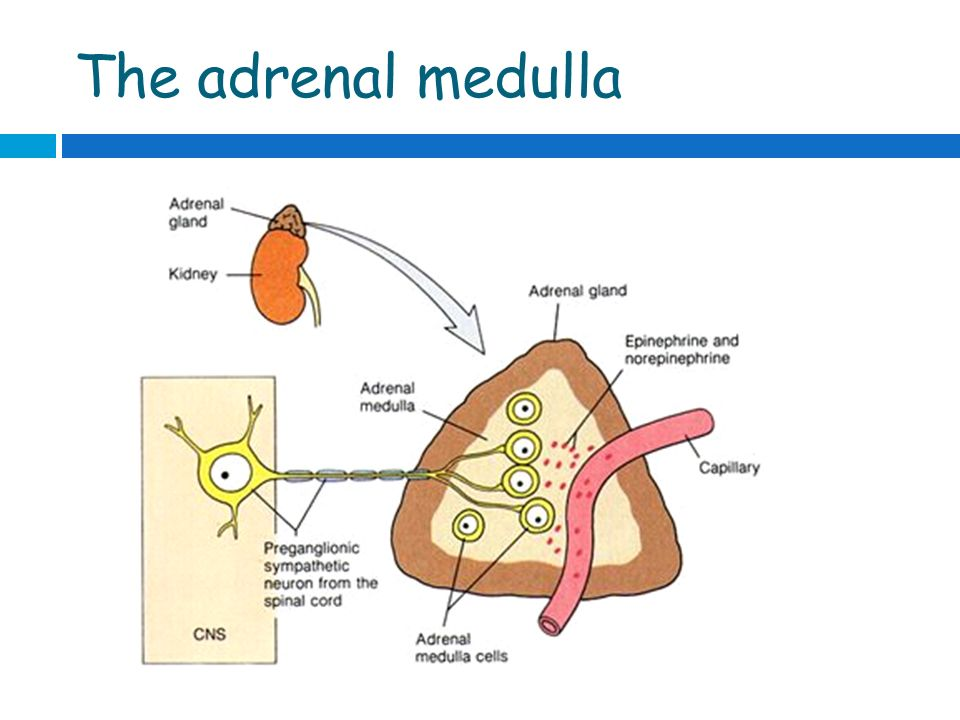 The Adrenal Gland Ppt Video Online Download