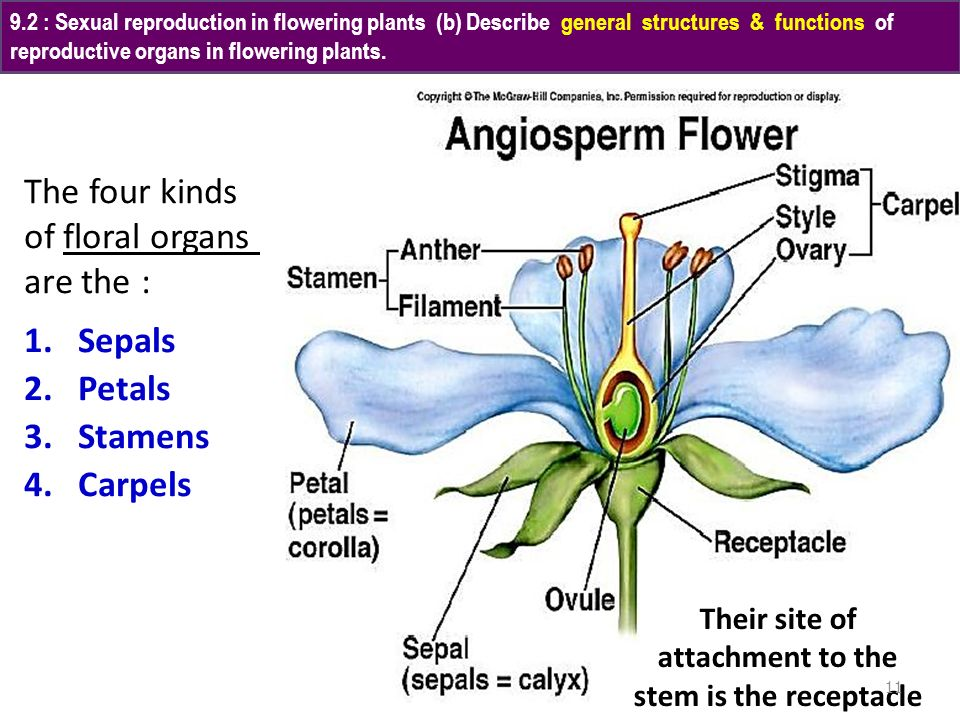 The four kinds of floral organs are the : Sepals Petals Stamens