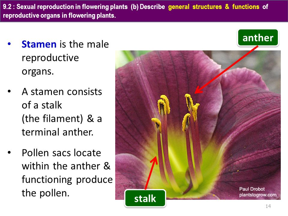 Stamen is the male reproductive organs.