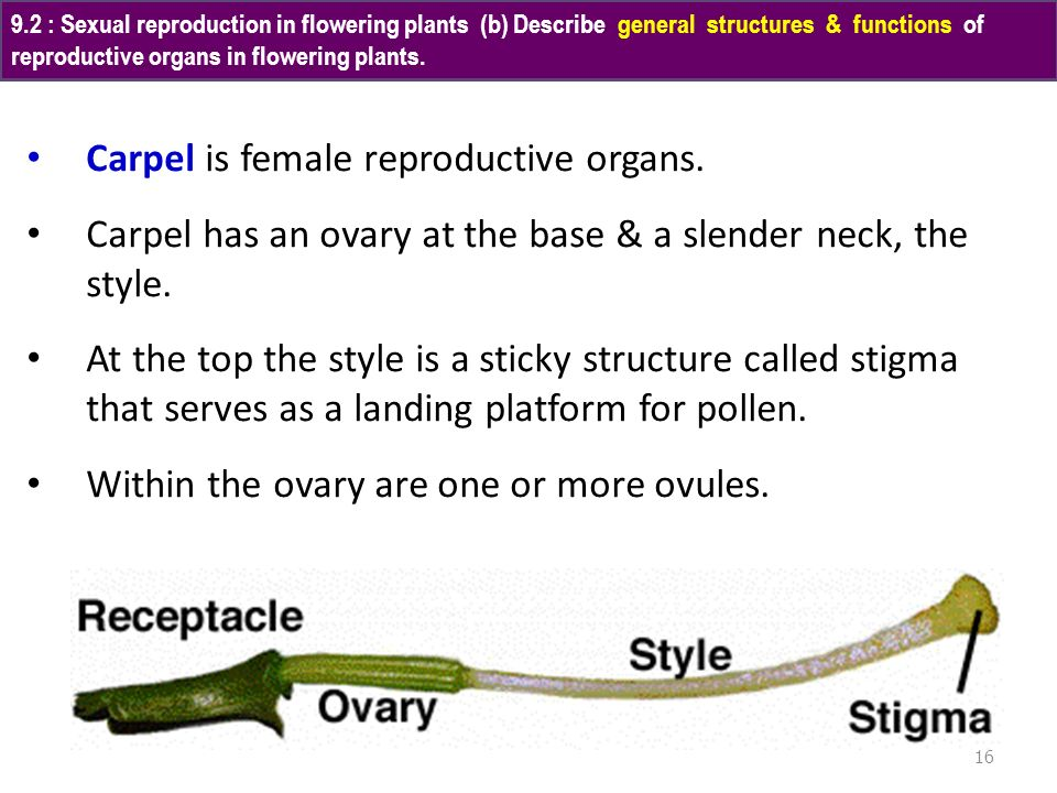 Carpel is female reproductive organs.