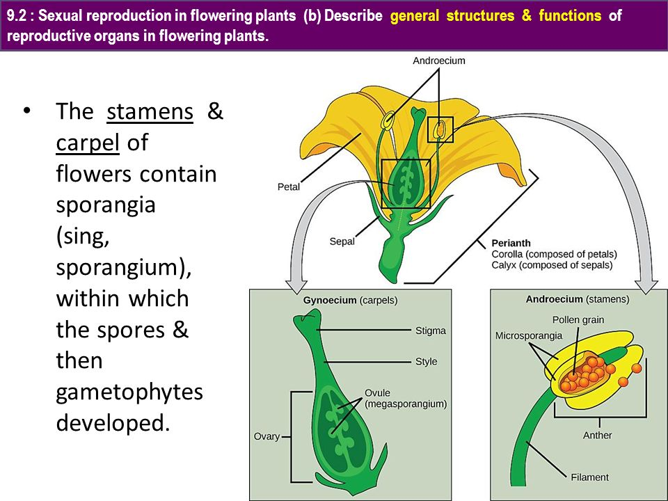 9.2 : Sexual reproduction in flowering plants (b) Describe general structures & functions of reproductive organs in flowering plants.