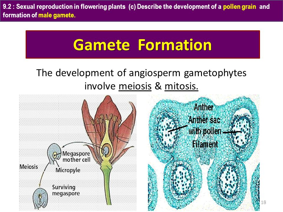 The development of angiosperm gametophytes involve meiosis & mitosis.