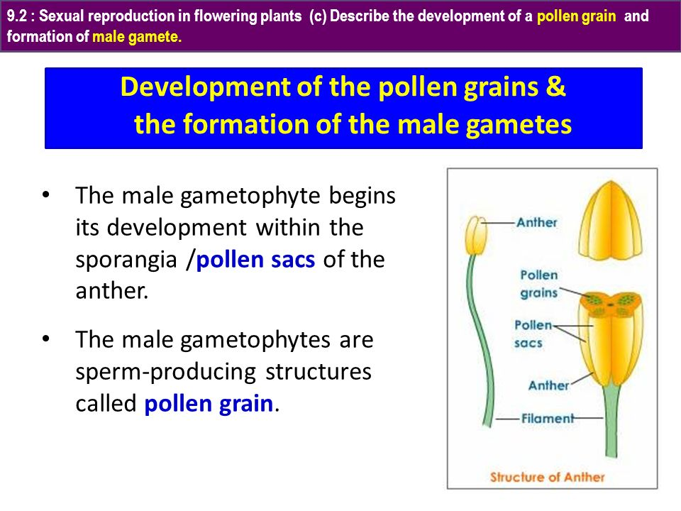 Development of the pollen grains & the formation of the male gametes