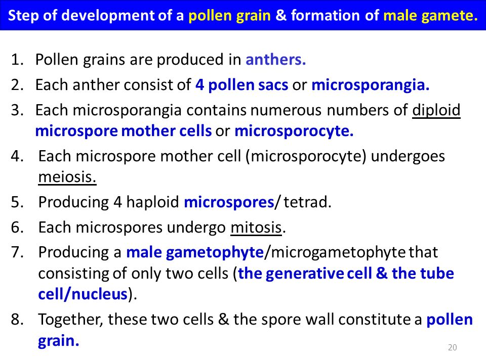 Step of development of a pollen grain & formation of male gamete.