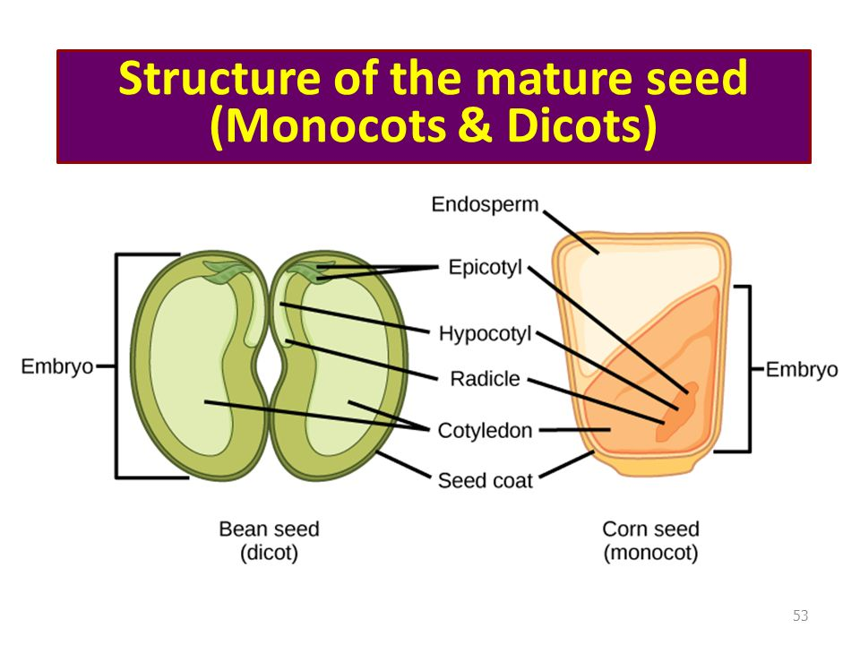 Structure of the mature seed