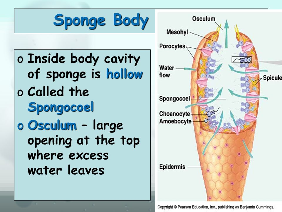 Diagram Of Sponge Body Plan - Free Car Wiring Diagrams •