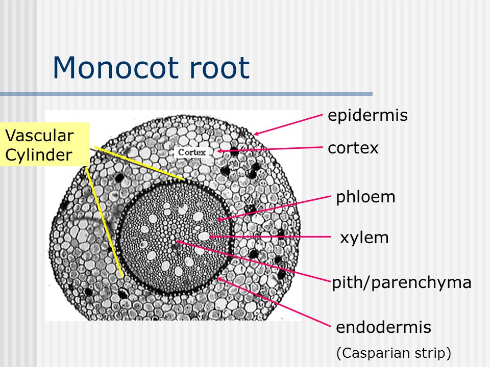 Monocot And Eudicotdicot Roots Ppt Video Online Download