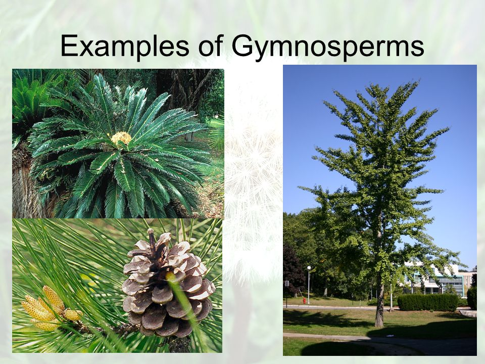 Gymnosperms Vs Angiosperms Ppt Video Online Download