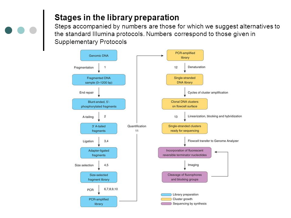 Stages in the library preparation Steps accompanied by numbers are those for which we suggest alternatives to the standard Illumina protocols.