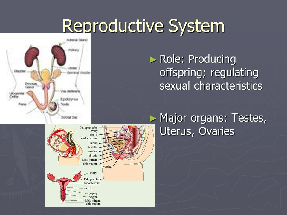 The human reproductive system project